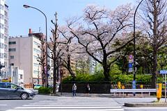 CherryBloom at Tokyo (in explore 9/8/2019) (Flutechill) Tags: cherryblossom sakura flower city citylife cityscape citystreet tokyo tokyoprefecture japan japaneseculture travel traveldestinations tourist spring springtime