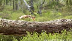 Red Squirrel on the run (Alastair Marsh Photography) Tags: redsquirrel redsquirrels squirrel squirrels mammal mammals mammalsociety smallmammal smallmammals animal animals animalsintheirlandscape wildlife britishwildlife britishanimals britishanimal britishmammals britishmammal forest woodland woods wood jump jumping leap leaping aviemore scotland scottishwildlife scottishhighlands scottishmammal scottishmammals cairngorms cairngormsnationalpark