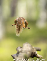 Flying Squirrel (Alastair Marsh Photography) Tags: redsquirrel redsquirrels squirrel squirrels mammal mammals mammalsociety smallmammal smallmammals animal animals animalsintheirlandscape wildlife britishwildlife britishanimals britishanimal britishmammals britishmammal forest woodland woods wood jump jumping leap leaping aviemore scotland scottishwildlife scottishhighlands scottishmammal scottishmammals cairngorms cairngormsnationalpark