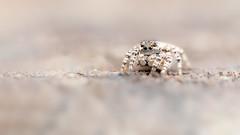 Jumper (Distinctly Average) Tags: phillluckhurst distinctlyaverage wwwdistinctlyaveragecouk wildlife surrey ockham spider zebrajumpingspider handheld macro 80d yn24ex 60mm efs60