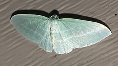 Dyspteris abortivaria - The Bad-Wing - Hodges#7648 (Stylurus) Tags: dyspteris abortivaria the badwing hodges7648 michigan prairie oaks lodi township moth