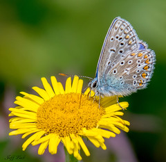 DSC1566  Common Blue.. (Jeff Lack Wildlife&Nature) Tags: commonblue blues butterflies butterfly lepidoptera insects insect wildlife wetlands woodlands wildlifephotography jefflackphotography wildflowers glades grasslands fields flowers nectaring naturephotography nature countryside copse heathland hedgerows heathlands heaths moorland marshland marshes meadows moors nikon macro