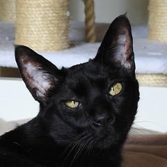 Kakashi (annette.allor) Tags: cat feline portrait pose black senior aged chausie closeup internationalcatday worldcatday