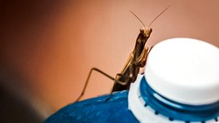 Unespected guest (Dario Cardillo) Tags: macro mantis mantide insect sony sonyalpha sonynex6 ricoh rikenon macrounlimited macrodreams prayingmantis vintagelens