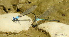 Tandem Blue-fronted Dancer_N6045 (Henryr10) Tags: ohio usa cincinnati littlemiamiriver canoelaunch ottoarmlederpark armlederpark ottoarmledermemorialpark hamiltoncountyparkdistrict greatparksofhamiltoncounty dragonfly odonata argiaapicalis bluefronteddancer dragonflies dancer libelle damselfly libélula libellule libellula argia drekafluga