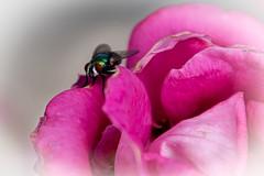 La mouche (balese13) Tags: 16300 d5500 montauban nikonpassion tamronaf16300mmf3563dillvcpzdmacrob016 yourbestoftoday balese fleur flower fly nikon nikonistes tamron 250v10f 500v20f
