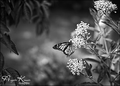 Monarchs.... (angelakanner) Tags: sonynex6 rokinon35mm manualfocus blackwhite monarch milkweed bokeh