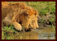 KING OF THE JUNGLE (Panthera leo)....MASAI MARA......SEPT,2014 (M Z Malik) Tags: nikon d3x 200400mm14afs kenya africa safari wildlife masaimara kws exoticafricanwildlife exoticafricancats flickrbigcats leo lionking ngc npc