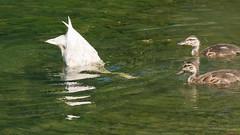Cane et ses canetons, Beauce, P.Q., Canada - 3835 (rivai56) Tags: caneetsescanetons beauce pq canada 3835 canard duck bird oiseau cane et ses canetons cherche de la nourriture sous leau