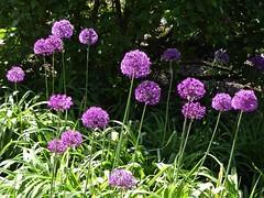 Lombard, IL, Lilacia Park, Spring, (Mary Warren 14.2+ Million Views) Tags: lombardil lilaciapark spring nature flora bloom blossom flower garden park pink purple allium
