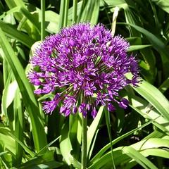 Lombard, IL, Lilacia Park, Spring, Purple Allium Flower (Mary Warren 14.2+ Million Views) Tags: lombardil lilaciapark spring nature flora bloom blossom flower garden park purple pink allium