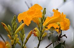 Quinta-flower (sonia furtado) Tags: quintaflower flor flower flordocampo flona flonadeaçu rn ne brasil brazil soniafurtado