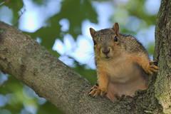 Squirrel, Cantigny Park. 78 (EOS) (Mega-Magpie) Tags: canon eos 60d nature wildlife outdoors squirrel tree branch cantigny park wheaton dupage il illinois usa america