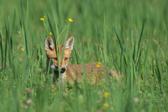 Fox in the grass (moments in nature by Antje Schultner) Tags: fox fuchs grass wiese vulpes rotfuchs
