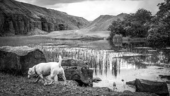 Doris goes to Bollihope . (wayman2011) Tags: colinhart fujifilmxf35mmf2 fujifilmxt1 lightroom5 wayman2011 bwlandscapes mono rural quarrys doris dogs jackrussels pennines dales weardale countydurham uk