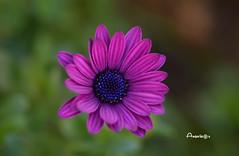 Thursday Flower (Anavicor) Tags: quintaflower thursdayflowers juevesdeflores anavillar anavicor villarcorreroana daisy margarita purple violeta morado macro 90mm tamron90mm nikon d5300 garden jardín park parque