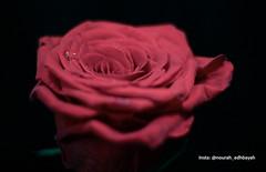 Just for you (Nourah.A.Edhbayah (Super Flower♥إظبيه)) Tags: nourah abdullah edhbayah q8 kuwait نوره عبدالله اظبيه الكويت