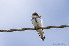 On the Wire (In Explore) (A.Joseph Images) Tags: blue brown white canada bird nature nikon outdoor wildlife newbrunswick swallow nikkor bankswallow oiseux johnsonmills d7200 nikkor200500mmedf56vr