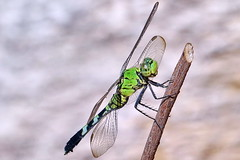 Eastern Pondhawk Dragonfly (Jim Atkins Sr) Tags: easternpondhawk easternpondhawkdragonfly erythemissimplicicollis dragonfly insect fairfieldharbour northcarolina sony sonyphotographing sonya58 macro