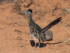 Roadrunner watching out for falling anvils. (Brian Eagar Nature Photography) Tags: nature arizona lakepowell wildlife animal bird roadrunner olympus em1m2 em1mii 300mm 300mmf4