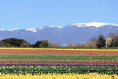 P1000718 (alainazer2) Tags: lurs provence france fiori fleurs flowers fields champs ciel cielo sky colori colors couleurs tulipani tulipes tulips montagne