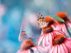 butterfly.... (pomian31) Tags: flower nature beauty in head day growth petal no people closeup plant yellow red blue full color butterfly bee echinacea summer sunlight sky freshness inflorescence natural photography olympus camera zuiko lens 40150 background blur bokeh beautiful