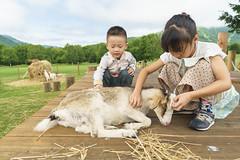 Feeding Sheep@Tomamu (Yang Yu's Album) Tags: japan hokkaido 北海道 儿子 tomamu chenyang hokkaidō 星野度假村 yūfutsudistrict