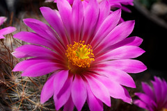 Mammillaria guelzowiana Blüten (2te Blütezeit 2019) (Bernd Götz) Tags: mammillaria kaktus mammillariaguelzowiana blühenzum2tenmal