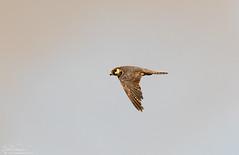 Hobby on the wing (Steve (Hooky) Waddingham) Tags: animal countryside bird british nature flight wild wildlife prey hobby marsh harrier