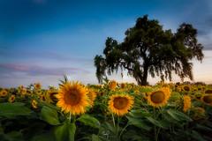 My Three Suns (ernogy) Tags: ernogy sunflowers sunflower farm oak tree yolo woodland davis sacramento california yellow flowers landscape outdoors green