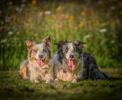 Posers (Chris Willis 10) Tags: will bokeh star dog pets outdoors animal purebreddog grass canine cute domesticanimals sheepdog friendship mammal nature playing fun greencolor playful puppy summer parkmanmadespace meadow