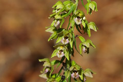 Broad-leaved Helleborines - Epipactis helleborine. (favmark1) Tags: kent orchids kentorchids britishorchids wildorchids broadleavedhelleborines epipactishelleborine
