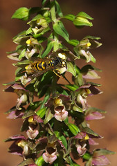 Broad-leaved Helleborine pollinator. (favmark1) Tags: kent orchids kentorchids britishorchids wildorchids broadleavedhelleborine epipactishelleborine