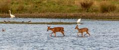 Roe deer crossing the lake (Steve (Hooky) Waddingham) Tags: animal countryside nature lake wild wildlife water roe deer