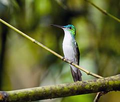0P7A2820  Andean Emerald Hummingbird,  Ecuador (ashahmtl) Tags: andeanemerald bird hummingbird amaziliafranciae sachatamialodge sanmigueldelosbancos pichinchaprovince ecuador