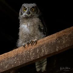 Barn Owl (jpeder55) Tags: 2019 greathornedowl landscapephotography palouse washington xt3 barnowl fuji fujifilm johnpedersenphoto june landscape nature owl wheat