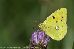 Souci - Clouded yellow (dom67150) Tags: alsace basrhin butterfly cloudedyellow coliascrocea france herbsheim insecte nature papillon ried souci