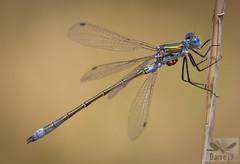 Robust Spreading - Lestes dryas (Kirby, 1890) ( BlezSP) Tags: madrid odonata dragonfly dragonflies anisoptera