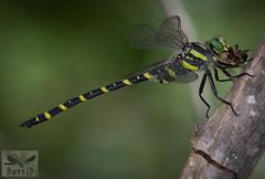 Common Goldenring - Cordulegaster boltonii (Donovan, 1807) ( BlezSP) Tags: madrid odonata dragonfly dragonflies anisoptera