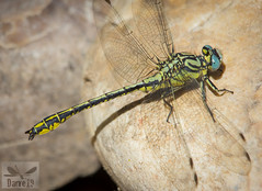 Yellow Clubtail - Gomphus simillimus (Selys, 1840) ( BlezSP) Tags: madrid odonata dragonfly dragonflies anisoptera