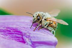 Pollen-Magic (simones.at) Tags: macro outside bees nature pollen nikon nikkor garden bienen hibiscus flowers bee