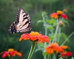 My Mom Likes It (lancekingphoto) Tags: butterfly flowers momapproved closeup fujifilmxe2 meike35mmf17 exposurex4 marshall northcarolina wnc