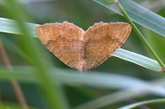 Kollane kirivaksik; Camptogramma bilineata; Yellow Shell (urmas ojango) Tags: lepidoptera liblikalised insecta insects putukad moth vaksiklased nationalmothweek geometridae kollanekirivaksik camptogrammabilineata yellowshell