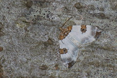 Lepa-kirivaksik; Plemyria rubiginata; Blue-bordered Carpet (urmas ojango) Tags: lepidoptera liblikalised insecta insects putukad moth vaksiklased nationalmothweek geometridae lepakirivaksik plemyriarubiginata blueborderedcarpet
