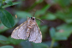 Okkalainelane; Lymantria monacha; Black Arches (urmas ojango) Tags: lepidoptera liblikalised insecta insects putukad moth nationalmothweek lymantria erebidae lymantriinae okkalainelane lymantriamonacha blackarches ebaöölased