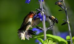 Ruby-throated Hummingbird vs Bumblebee (jt893x) Tags: 150600mm archilochuscolubris bee bif bird bumblebee d500 hummingbird jt893x male nikon nikond500 rubythroatedhummingbird sigma sigma150600mmf563dgoshsms