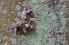 Pruun-öövaksik; Eulithis prunata; The Phoenix (urmas ojango) Tags: lepidoptera liblikalised insecta putukad insects moth vaksiklased geometridae nationalmothweek pruunöövaksik eulithisprunata thephoenix