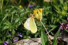 Colias phicomone -  Mountain clouded yellow - Bergluzernevlinder (Oberjoch, Germany) (Christian van de Ven) Tags: vlinder butterfly schmetterling mariposa papillon
