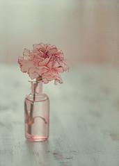 Carnation (Ro Cafe) Tags: stilllife flower carnation naturallight pink pastelcolors nikkor105mmf28 sonya7iii textured