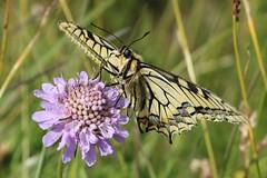 Papilio machaon - Swallowtail - Koninginnenpage (Oberjoch, Germany) (Christian van de Ven) Tags: vlinder butterfly schmetterling mariposa papillon page papiliomachaon papilio swallowtail